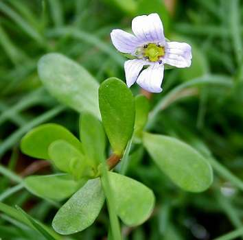 Brahmi-The Ancient Herb With Effective Health Benefits